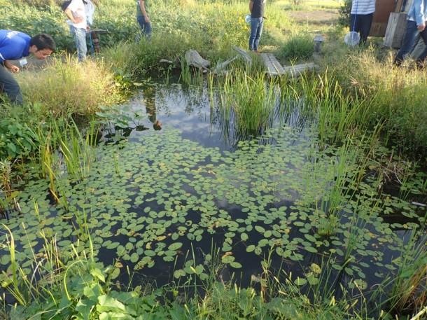 ジュンサイ、キクモ、クロモ、セキショウモ、マツモ、カンガレイ、コウホネなど、豊富な水草が生える池には、メダカやタナゴ、モロコなどが。